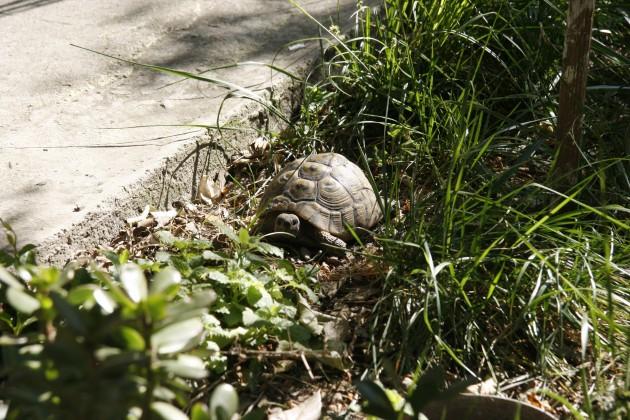 Eine der namensgebenden Schidlkröten im Three Turtles Hostel in Split