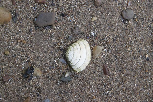 Muscheln am Strand von Anstruther