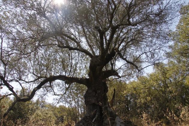 Verknorpelter Baum am Mühlenwanderweg